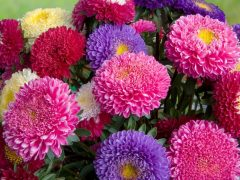 Bouquet of fresh asters different colors