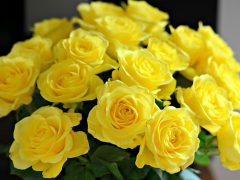 beautiful-yellow-roses-wallpaper-1680x1050