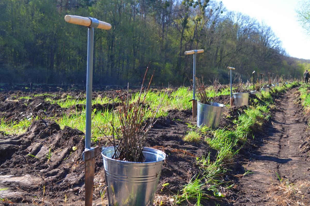 У Холодному Яру керівники Черкащини, посадовці разом із школярами висаджували ліс (квітень)