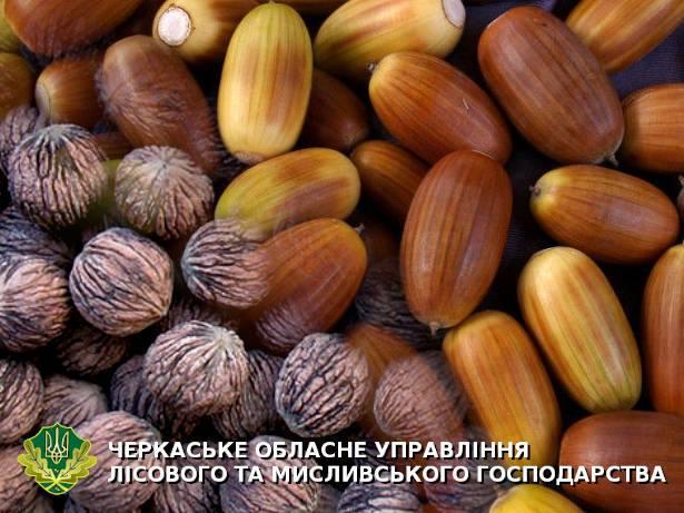 Лісівники Черкащини заготовили понад 40 тонн лісового насіння листяних порід